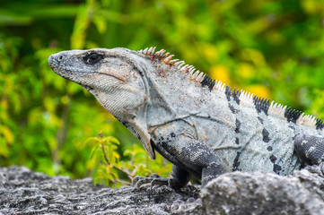 Mexican iguana on the ground