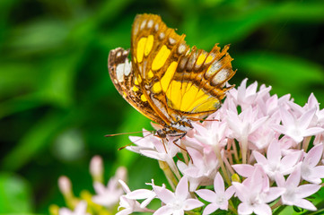 Mexican butterfly over the flower