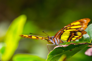 Beautiful butterfly with the ornament on it wing, Mexico