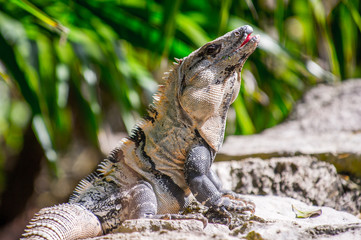 Close up of a Mexican iguana
