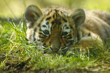 Door stickers Tiger Tijger welp ligt lui in het gras.