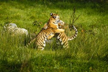 Photo on textile frame Tiger Twee stoeiende tijger welpen.