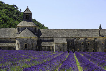 Wall Mural - Old Senanque Abbey with blooming lavender field (Provence, France)