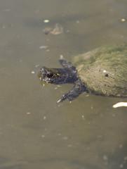 European pond turtle, Emys orbicularis, swimming in a pond