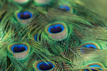 Male peacock, Pavo cristatus, feather background