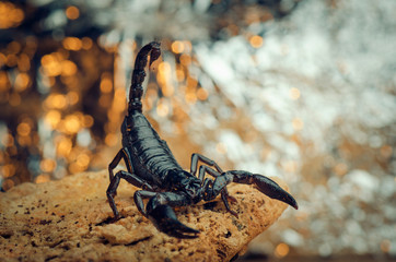 Scorpion in a fighting stance. Russian nature