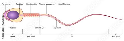 Sperm cell anatomy\