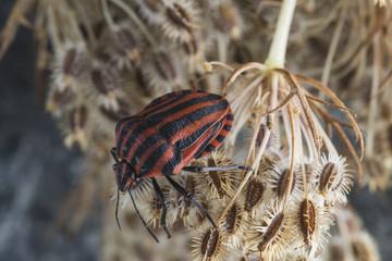 Red striped Graphosoma lineatum/Graphosoma semipunctatum on plant