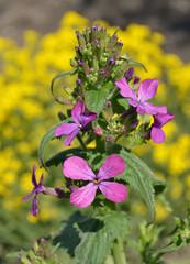 Flowers of Hesperis Matronalis, close-up. Tiny purple Dame's Rocket (Dame's Violet).
