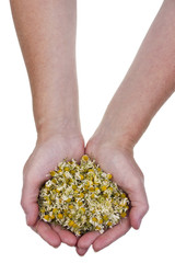 Dried medical camomile in hand