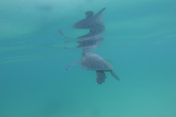 Sea turtle swimming alone underwater. Galapagos