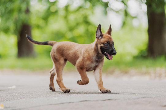 Belgian Shepherd Dog ( Malinois )