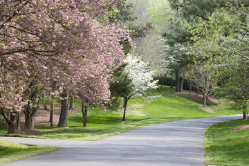 Spring Trees in Bloom Beside Driveway