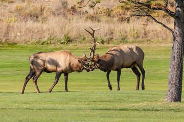 Bull Elk fighting in the Rut