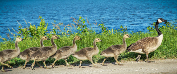 Young Canadian geese single file following their Mother with a lake of blue water in the background