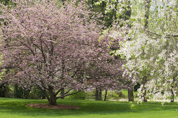Cherry Tree and Dogwood Tree in Bloom