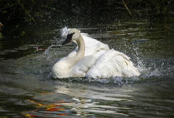 Printed kitchen splashbacks Swan Zwaan neemt een lekker bad.