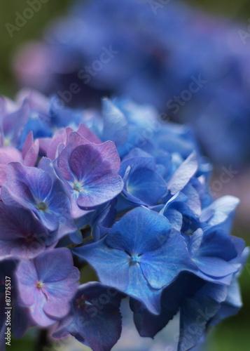 blaue hortensie hintergrund verschwommen stock photo. Black Bedroom Furniture Sets. Home Design Ideas