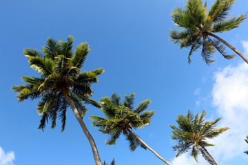 Four palm threes looked from down with blue sky as background and white cloud