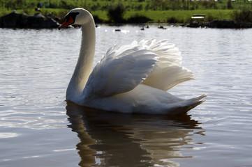 ganso no lago