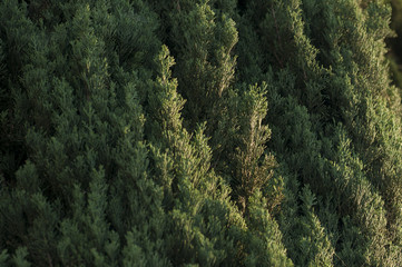 Green Pine Tree Texture