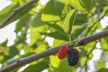 The black and red mulbery on tree in my garden.
