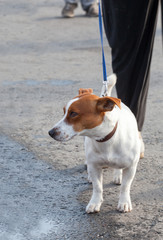 The Jack Russell Terrier walking on a lead with the owner