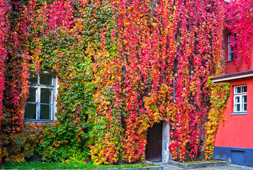 Parthenocissus with red and yellow autumn leaves on a wall