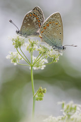 two common blues - Polyommatus icarus on a blossom