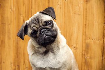 Pug puppy boy