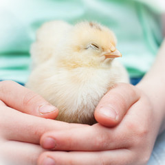 Little Chick in Child Hands. Baby Chicken. Love and Care.