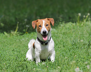 Young puppy dog Jack Russell terrie