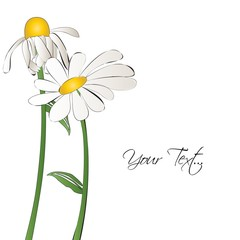 Daisy flower illustration vector