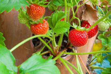 Terracotta planter with ripe strawberries