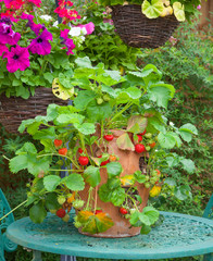 Terracotta planter with ripe strawberries