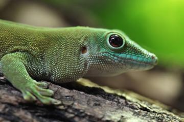 Koch's giant day gecko (Phelsuma madagascariensis kochi).