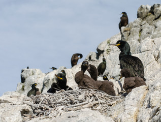 Young and adult shags
