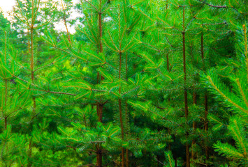 Beautiful green pine forest