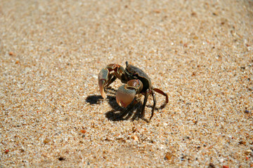 Little crab in the sand