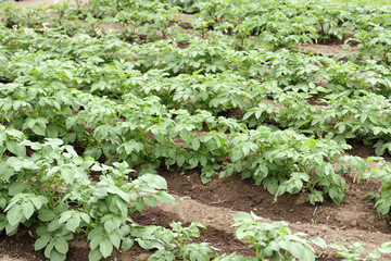 Potato crop in a garden.