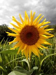 sunflower on the grey sky