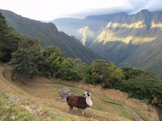 Alpaca in the mountains of peru