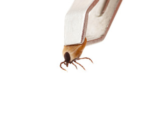 Ticks, isolated on a white background