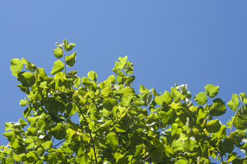 hazel green leaves and intense blue sky