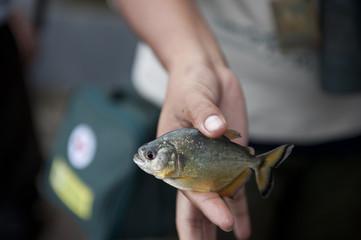 Peruvian Yellow Piranha