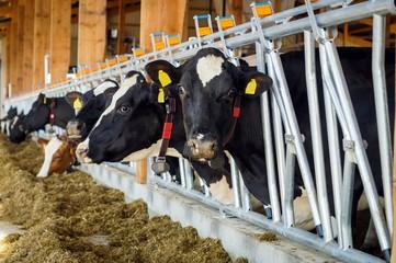 Milcherzeugung, Kühe fressen Grassilage im modernen Kuhstall