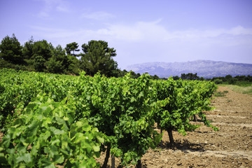 Wall Mural - vineyard in Provence, France