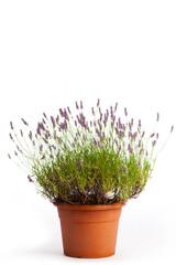Blühender Lavendelstrauch im Blumentopf