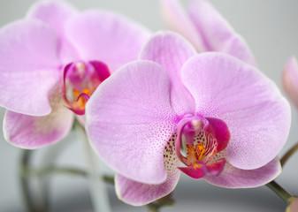 storczyk orchidea makro