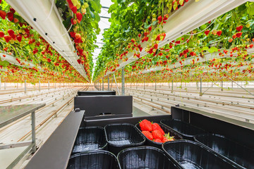 Industrial growth of strawberries in a greenhouse